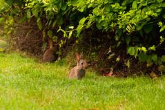 Vendée (PhotoSophil) Tags: france rabbit castle nature animal architecture place wildlife country domestic housing chateau campagne lapin lightroom logement faune mamal domestique paysdelaloire mammifere photoanimalière pentaxk20d lamotheachard