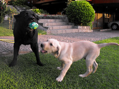 05 (pamelambada) Tags: dog happy labrador perro perros doggies puppie