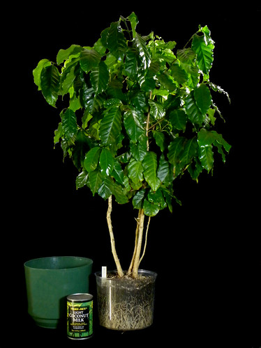 "Coffee Tree Grown From a 4"" Pot Size Plant"