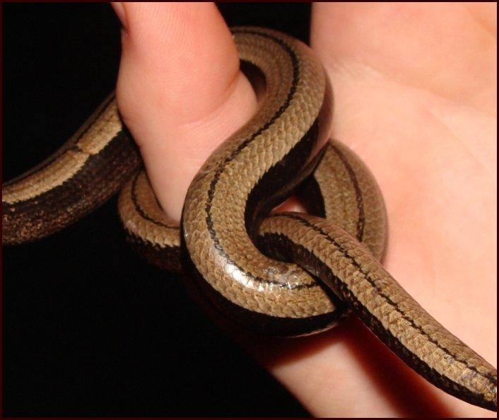 corde-serpent 03