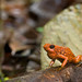 Oophaga sylvatica, Little Devil Poison Frog, in habitat. IUCN Redlist: Near Threatened. Provincia Esmeraldas, Ecuador