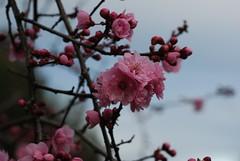 PlumBlossom_20100211_3 (faeparsons) Tags: flowers plumblossoms