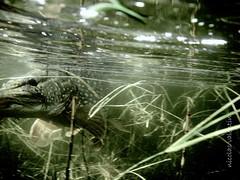 Beware little fish..... (Nicolas Valentin) Tags: fish scotland underwater pike brilliant ferocious badasssss 16lb