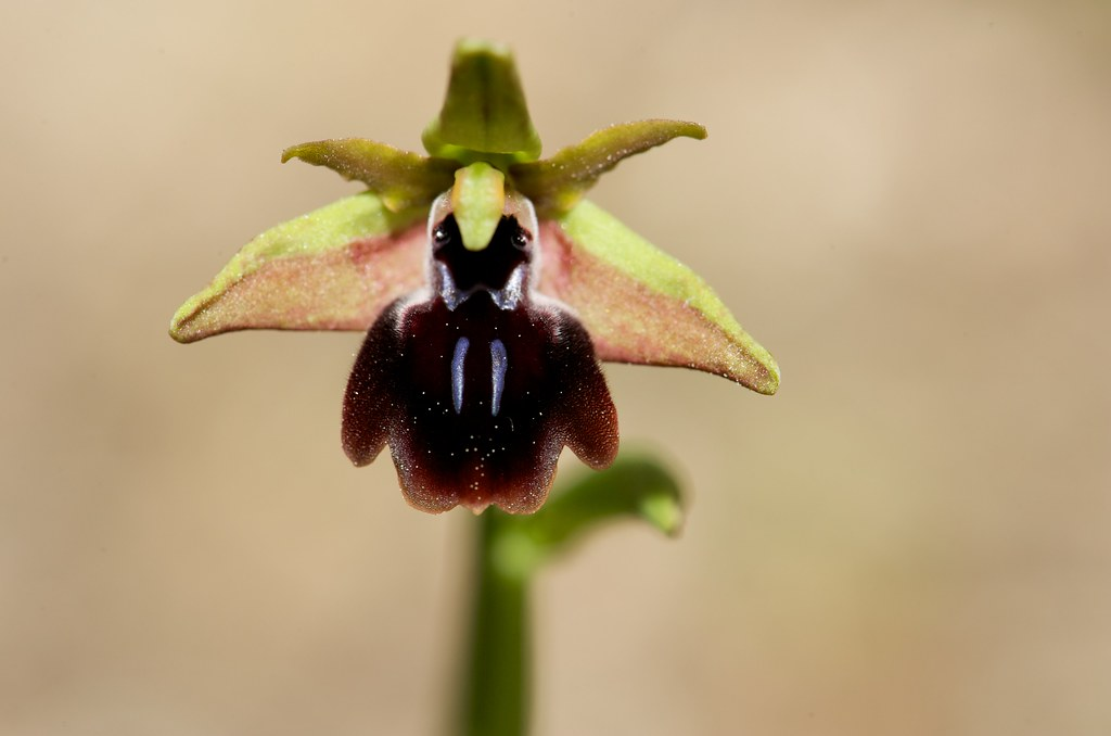 Ophrys israéliens 4368155905_385b0ee02a_b_d