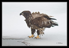 One Very Bedraggled Eagle (Tomcod) Tags: travel winter white canada water beautiful beauty newfoundland poster wings gallery graphic eagle background baldeagle beak feathers young atlantic remote lovely predator avian birdofprey talons ecotourism haliaeetus leucocephalus juvenilebaldeagle quidividilake hookedbeak ruralstjohns