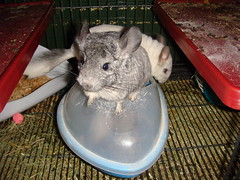 Chinchillas out of cage