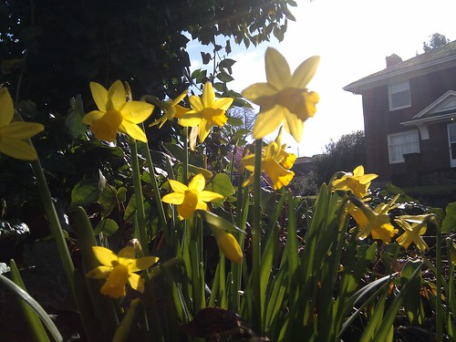 Mini daffodils in the morning