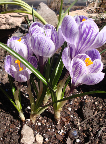 bulbs_crocus