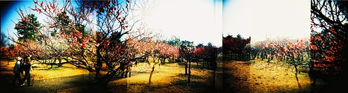 the cherry-blossom season