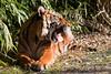 2010-03-07-10h44m10.IMG_2781l (A.J. Haverkamp) Tags: zoo rotterdam blijdorp sumatrantiger dierentuin diergaardeblijdorp sumatraansetijger httpwwwdiergaardeblijdorpnl canonef300mmf4lisusmlens