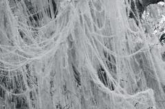 silver lichen (KristianSven) Tags: blackandwhite oregon beard lichen usnea methuselahs primevalforestgroups