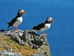 On the Rocks (Charlotte Brett Photography) Tags: sea bird coast northsea puffin anstruther isleofmay