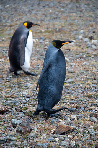 Black Penguin in the foreground with a regular King penguin in the background