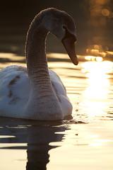 Golden hour Swan (Geoffrey Gilson) Tags: holland nature netherlands birds animals canon eos wildlife swans 7d geoffrey animaux paysbas mute cisne cygnes reale oiseaux gilson vulgar hollande cygnus cigno knobbelzwaan olor hckerschwan knlsvan oostmaarland tubercul vogeln canoneos7d