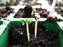 Sprouting tomato. (tannie) Tags: plants tomato gardening balcony balkon maja seeds sprouting tomaat plantjes taxonomy:genus=solanum taxonomy:common=tomato taxonomy:species=lycopersicum balkontomaat