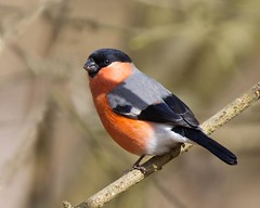 Bullfinch (Andrew H Wildlife Images) Tags: colour bird nature wildlife bullfinch warwickshire avian brandonmarsh canon7d ajh2008