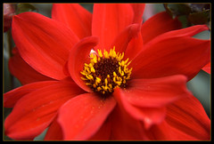 """Red October (gainsheritage """"Commenting when I Can"""") Tags: dahlia flower nature beauty flora nikon blossom d70s bloom 2009 merlyn"""