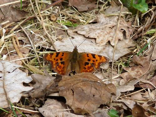 12160 - Comma Butterfly