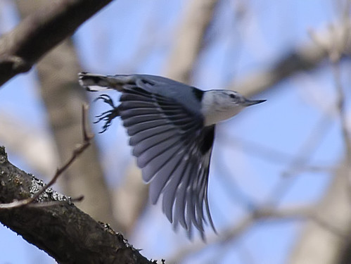 nuthatch takeoff
