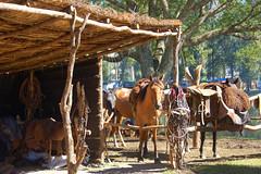Alrededor del galpn (Eduardo Amorim) Tags: horses horse southamerica totora criollo caballo uruguay cheval caballos straw gear thatch cavalos pferde cavalli cavallo cavalo pferd ramada pampa rancho tack enramada hest hevone