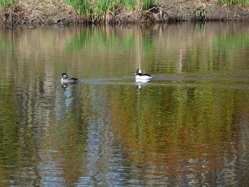 Mr. and Mrs. Bufflehead #21