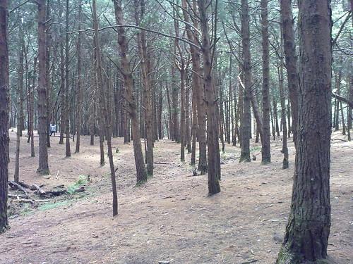 Pine forest - Kodaikanal