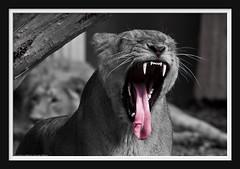 Byte your tongue... (Arie van Tilborg) Tags: tongue zoo rotterdam blijdorp lion tong dierentuin leeuw rotterdamzoo aziatischeleeuw estremità arievantilborg