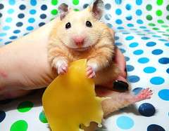 Migotka & sheet of Cheese (pyza*) Tags: pet cute girl animal mi golden rodent critter adorable evil mimi blonde hamster syrian hammie chomik migotka