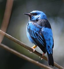 Northern Blue Dacnis (San Diego Shooter) Tags: wallpaper zoo sandiego bluebird sandiegozoo desktopwallpaper bluedacnis dacniscayana northernbluedacnis thepinnaclehof sandiegodesktopwallpaper tphofweek128