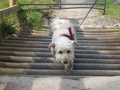 Tip-Toe over the cattle grid (Taracy) Tags: dog molly terrier sugarloaf brecon blackmountains