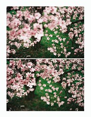 (TORI STEFFEN) Tags: tree film 35mm f14 cherryblossoms tori steffen 58mm minoltasrt101 114 rokkor 400speed ihaveatonofdigitalpictureslikethistoobutugh uhhiguessidkhaha iflewabovethetreetotakethis makingdiptychsbecausesomeofthesearetoosimilartouploadseperately blossomyjstarflowers