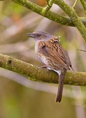 IMG_0635 Dunnock, Brandon Marsh, Warwickshire 16Apr10 (Lathers) Tags: birds canon brandon dunnock 7d warwickshire brandonmarsh canonef300f4lisusm canon7d wildinthemidlands 16apr10