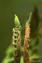 Ferns (bamboosage) Tags: morning garden saturday on in a my vivitar2xmacrofocusingteleconverter mcjupiter9285