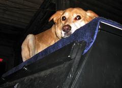 Traveling Piano Dog Boner (TravelingPianoMan) Tags: dog truck piano pickup danny boogie boner traveling kean oustside raggin