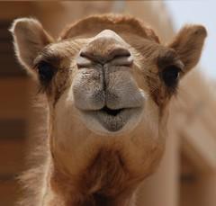 Gorgeous camel (David & Cheryl M) Tags: cruise portrait closeup bahrain well east camel oil middle camels manama aboveandbeyondlevel1