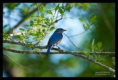 2010 NC Backyard Birds (Derrick Shultz) Tags: birds flickr wildlife raleigh 2010 easternbluebird d90 nikon80400mmf4556 04162010