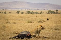 Status Quo on the Serengeti (mikel.hendriks) Tags: africa male tanzania kill wildlife lion young pride safari vultures serengeti capebuffalo guarding statusquo scavengers jackals spottedhyena serengetinationalpark animalkingdomelite canoneos50d sigma120400mmf4556apodgoshsm