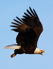 april eagle II (Jeremiah John McBride) Tags: eagle flight baldeagle bald lakeshoredrive raptor lakesuperior thunderbay cs2s bullfrogphoto jeremiahjohnmcbride