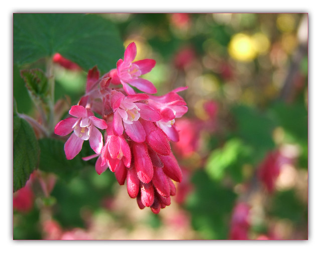 Photo: Flowering Currant