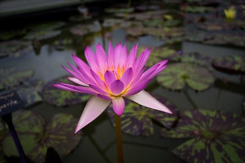 Blue Lotus Water Garden (06)