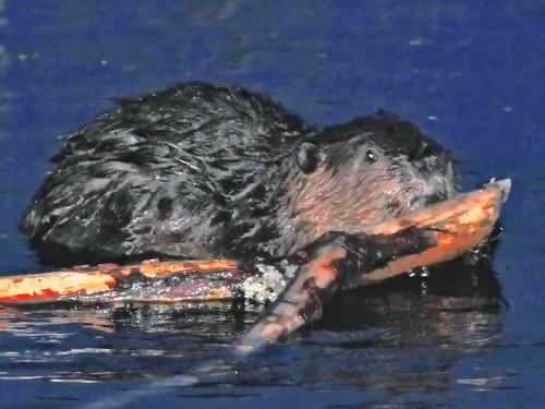 beaver at night