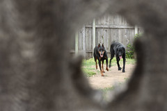 Through The Knothole (AgentThirteen) Tags: dogs fence lab labrador watch guard doberman alert knothole pts dobermanpinscher blacklabsecurity