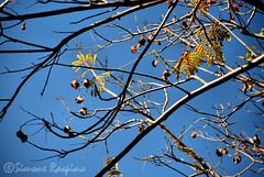 Senza Titolo (Winter Guest) Tags: tree arbol branches albero twigs arbre baum cagliari rami largocarlofelice casteddu lamarina lapola