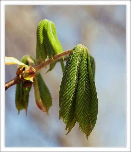Young Chestnut's Leaves (by Kate Yasnaya)