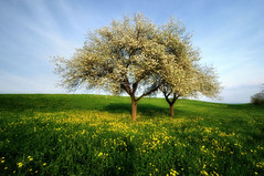 (Christoph Zurbuchen) Tags: flowers tree landscape schweiz switzerland spring suisse blossom dandelion paysage genve campagne paysages genevoise magicunicornverybest magicunicornmasterpiece theacademytreealley