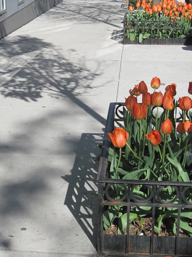 Tulips in Hell's Kitchen