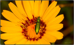 Vestida de gala (Fotgrafo-robby25) Tags: insectos macrofotografa canoneos5d colepteros canonef180mm cantridaslyttavesicatoria