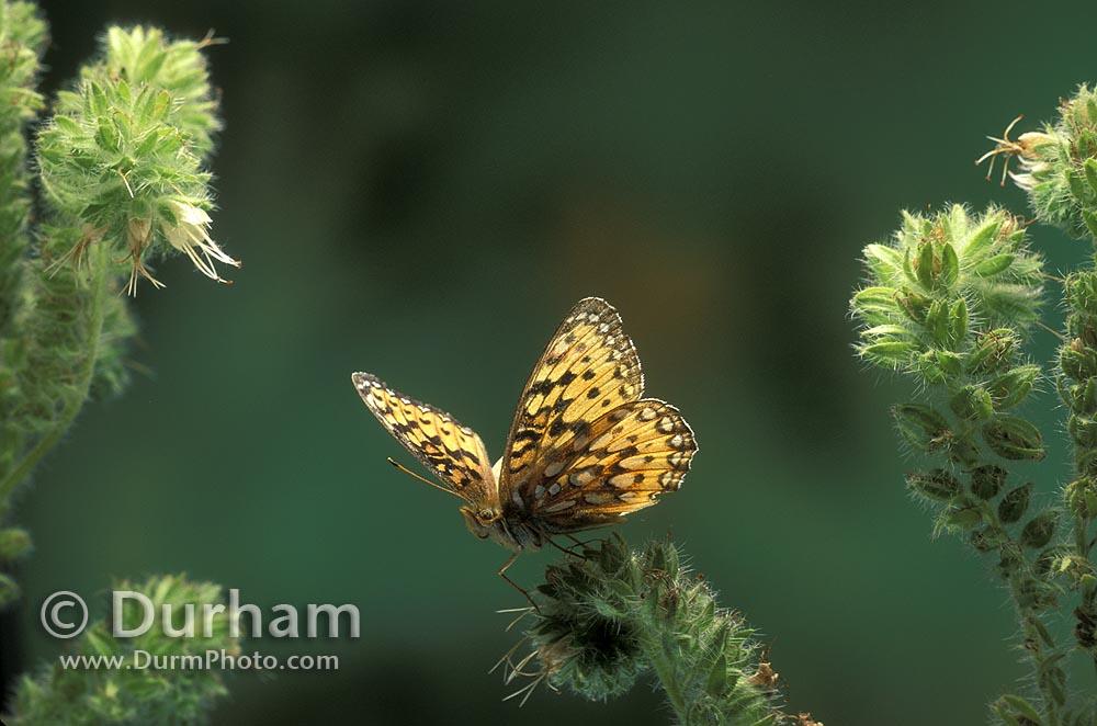 Great Basin Fritillary butterfly (Speyeria egleis)