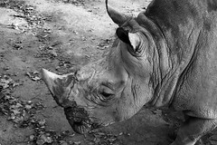 Creases (Pete Fletch) Tags: barcelona bw animal contrast grey zoo barca skin rhino horn wrinkled creased