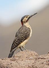 Andean Flicker (Colaptes rupicola) (macronyx) Tags: bird peru nature birds woodpecker wildlife birding aves flicker colaptes andeanflicker colaptesrupicola